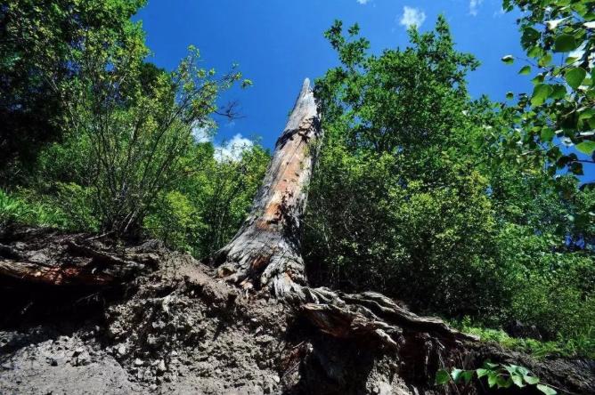 雷电劈在活的枣树上后