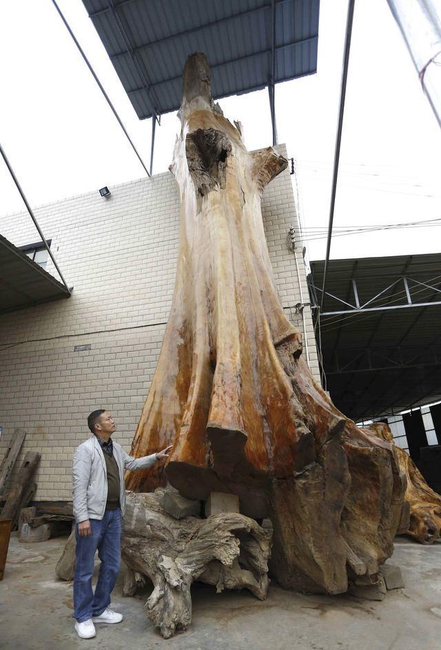 一棵被雷击致死的金丝楠木原木
